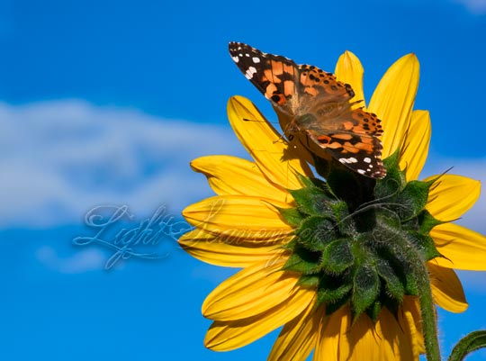 Painted Lady Butterfly on Sunflower