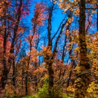 Rocky Mountain Maples: Light and Shadow