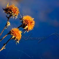 Dried Sunflowers