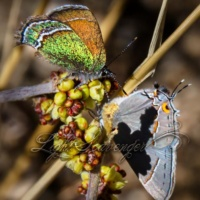 Sandia and Gray Hairstreaks