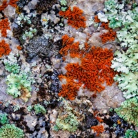 Colorful Lichens