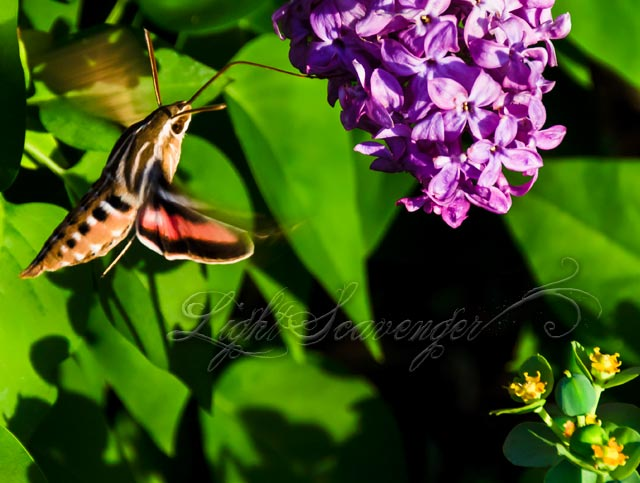 Hummingbird Moth, aka Sphinx Moth