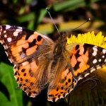 Painted Lady Butterflies Galore