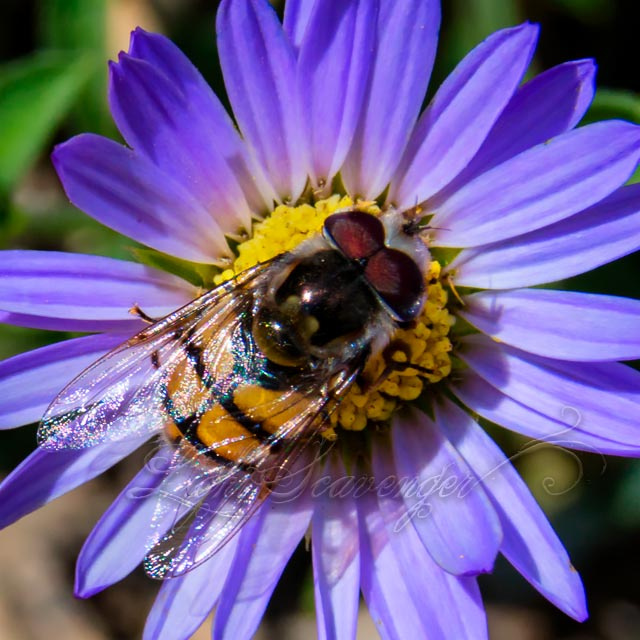 Purple Aster and Bee