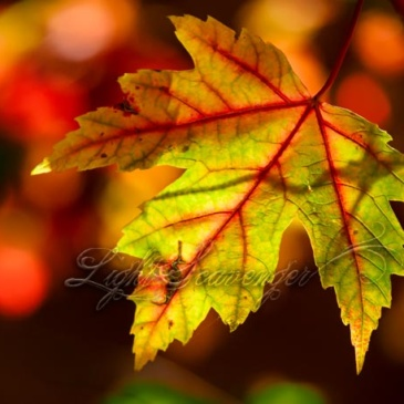 Arroyo Seco Maple Leaves