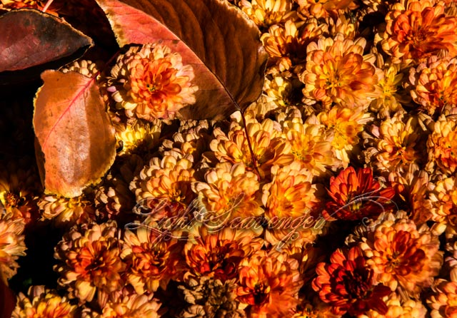 Mums with Fallen Leaves