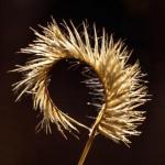 Blue Grama Grass, Winter Edition