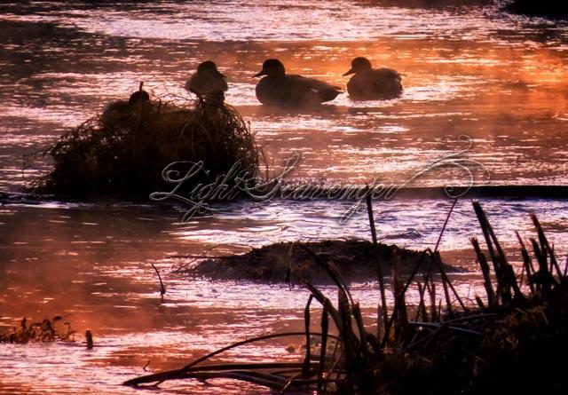 Ducks and Mist