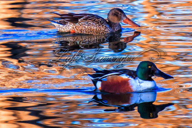 Mr & Mrs Northern Shovelers