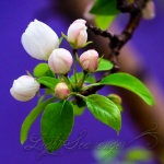 Flower Buds and the Purple Wall