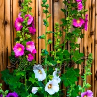 Hollyhock Season