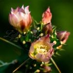 Tiny Cholla Blossoms