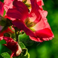 Backlit Hollyhocks
