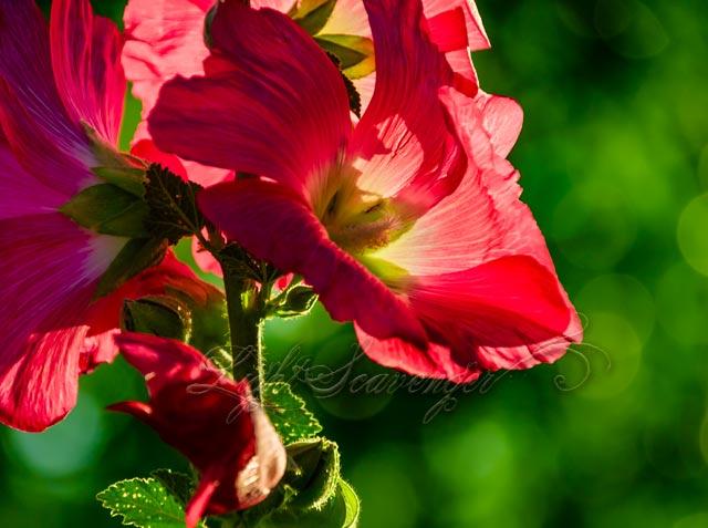 Backlit Hollyhock Blossoms