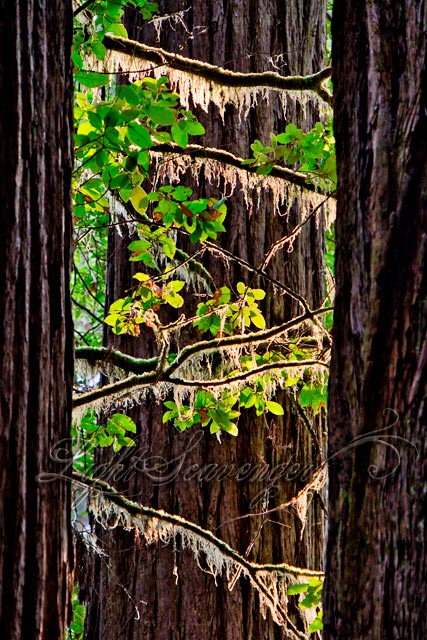 Coastal Redwoods, Jedediah Smith State Park