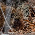 Porcupine in the Bosque