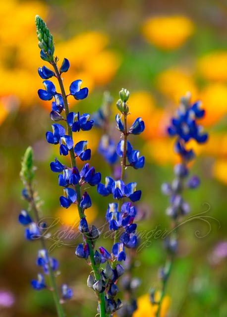 Lupine and Poppies