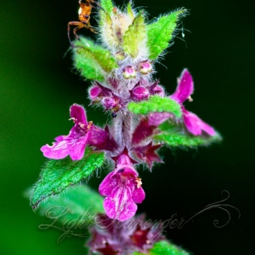 Coast Hedge Nettle and Spider