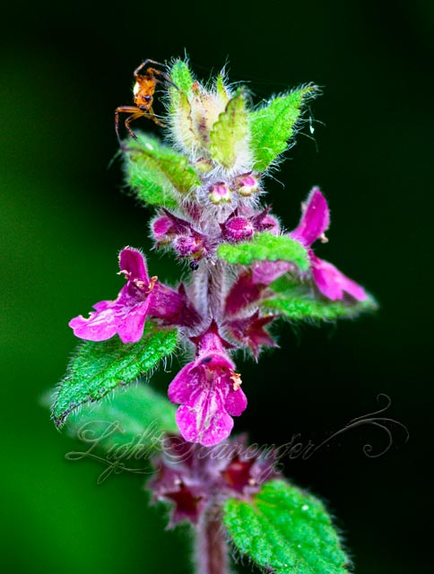 Coast Hedge Nettle