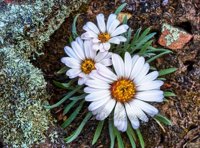 Stemless Daisies and Lichen