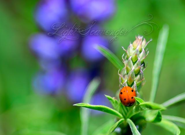 Ladybug on Lupine