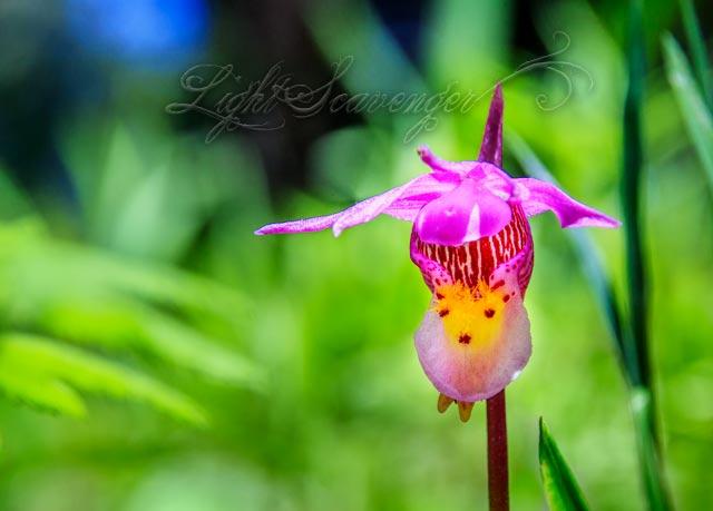 Wild Calypso Orchid in New Mexico